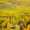 604  G Fall Colors Near Mantanuska River