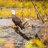 1752  G Bald Eagle