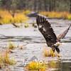 1767  G Bald Eagle Flying