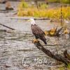 1758  G Bald Eagle
