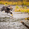 1763  G Bald Eagle Flying