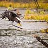 1763  G Bald Eagle Flying