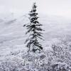 1822  G Denali Snow Tree