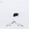 1909  G Denali Snow Grizzly