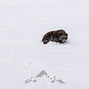 1920  G Denali Snow Grizzly
