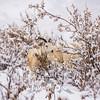1861  G Denali Snow Sheep