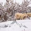 1855  G Denali Snow Sheep