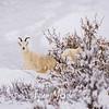 1863  G Denali Snow Sheep