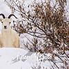 1868  G Denali Snow Sheep Pan