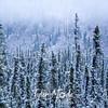 2231  G Snowy Denali Trees