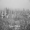 2259  G Snowy Denali Trees BW