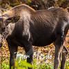 2558  G Moose