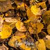 1436  G Aspen Leaves