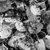 1437  G Aspen Leaves BW