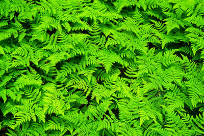 Alaskan rain forest floor is covered in different ferns.  This photo was taken near Ketchikan, AK on the Chilkook Trail, Gold Rush Trail of 1898.