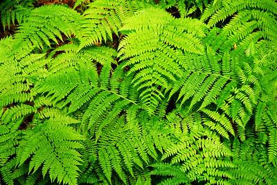 Broadleaf Ferns on the Chilkook Trail