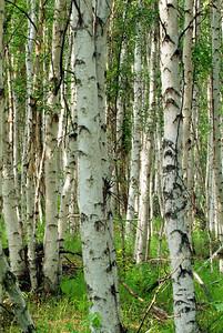 Birch forest near Fairbanks, AK