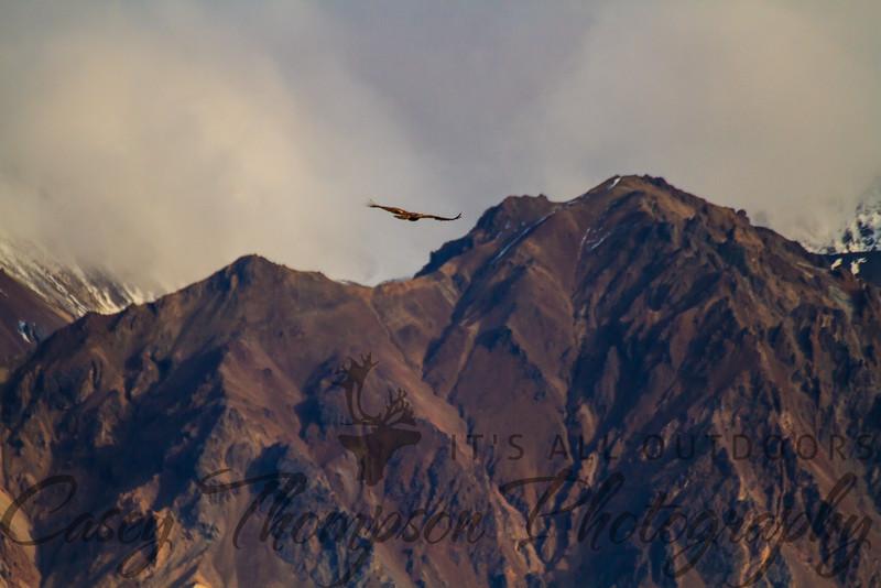 Golden Eagle soaring over the Alaska Range.