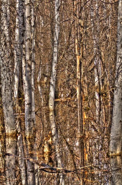 """Birch Swamp"" - Boreal Forest Trail - Creamer's Field Migratory Waterfowl Refuge - Fairbanks, AK"
