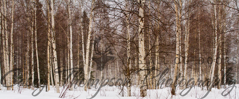 Fairbanks, AK Birch Forest - March 9, 2012