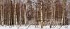 Fairbanks, AK Birch Forest - March 9, 2012