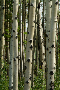 Birch Trees in Wrangle-St.Elias National Park