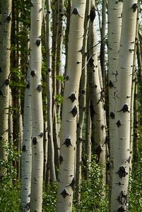 Birch Trees in Wrangle-St.Elias National Park