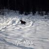 60  G Moose in Snow