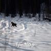 61  G Moose in Snow