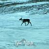 752  G Caribou