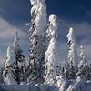 277  G Snowy Trees V
