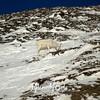 1022  G Sheep