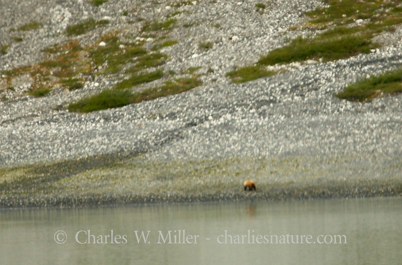 A bear on the shore of Glacier Bay
