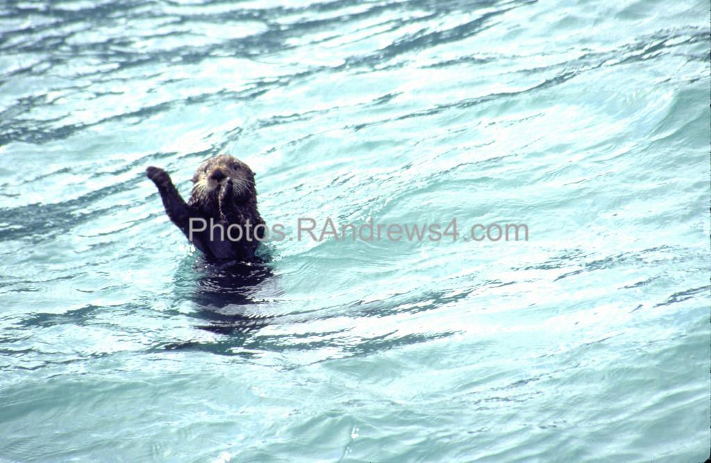 Sea Otter in Resurrection Bay, Alaska