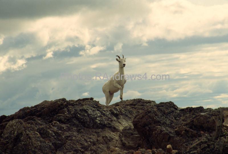 Dall Sheep on Flattop Mt near Anchorage, AK