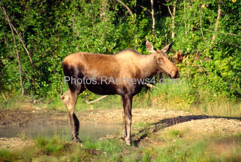 Cow Moose at Chena Hot Springs