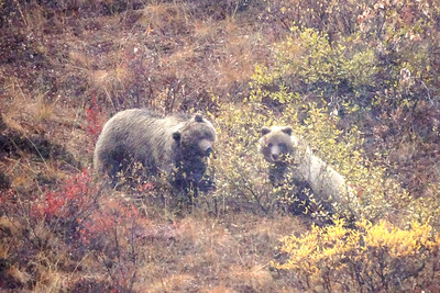 Mama bear and one of two young ones