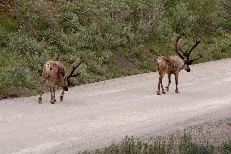 More caribou on the road.