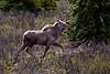 Young Bull Moose Denali Alaska
