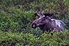 Bull Moose in Denali Denali Alaska