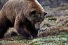 Grizzly Bear in Denali