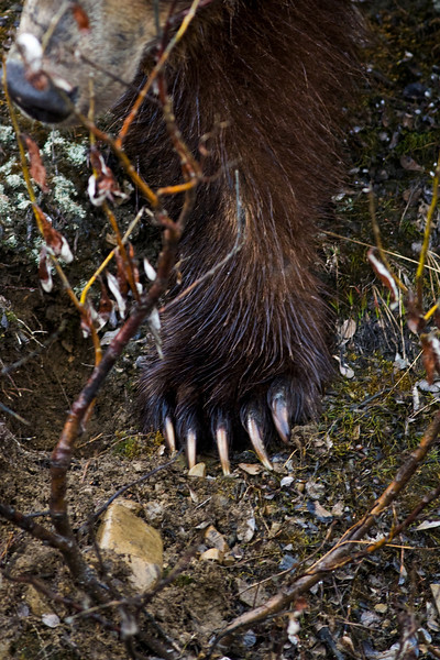 Grizzly bear paw just under me