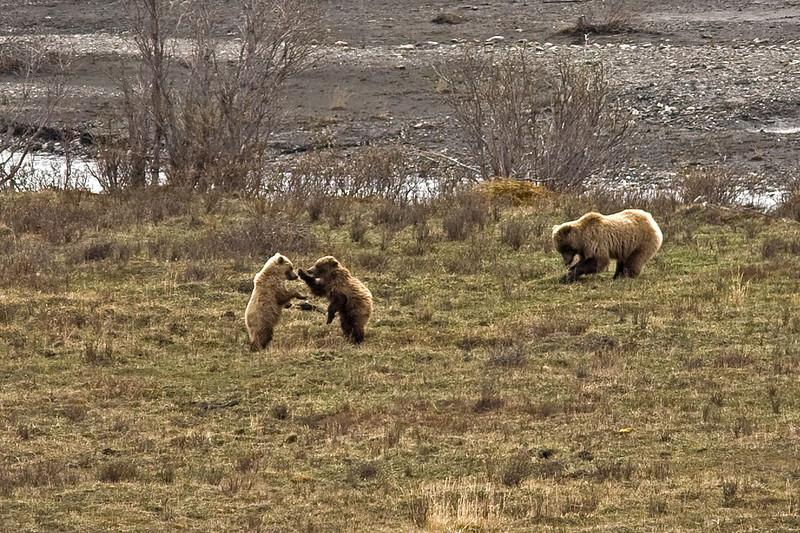 Mama is close by Denali Alaska