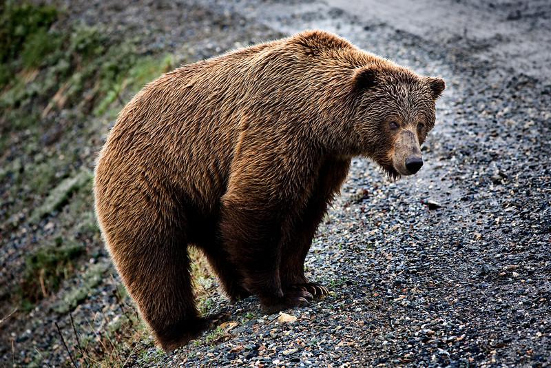 Grizzly bear deep inside Denali