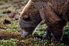 Grizzly Bear in Denali Denali Alaska