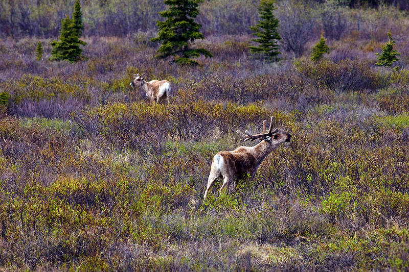 Caribou Denali Alaska