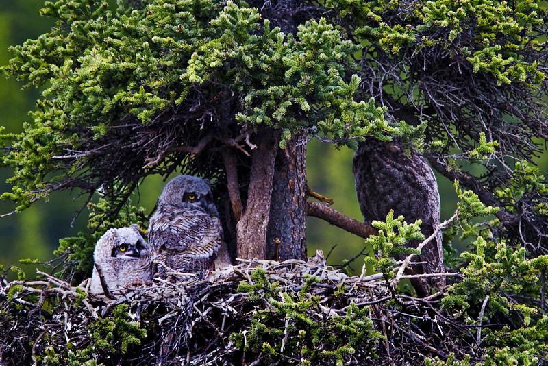 Great Horn tailed owls
