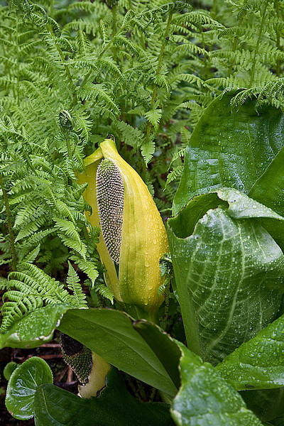 Sitka, wild skunk cabbage within the ferns in the rain forest.