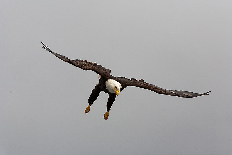 Sitka Bald Eagle swoops down for a fish.