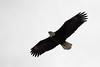 Sitka, Bald Eagle